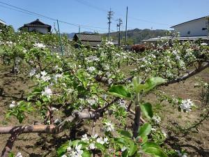りんごの花2_600