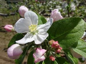 りんごの花1_600