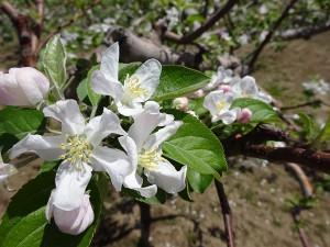 りんごの花4_600